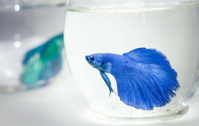 Ikan Cupang 1