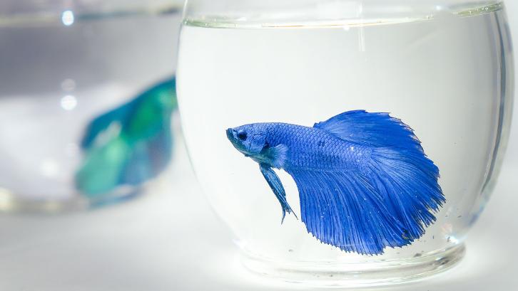 Ikan Cupang 2