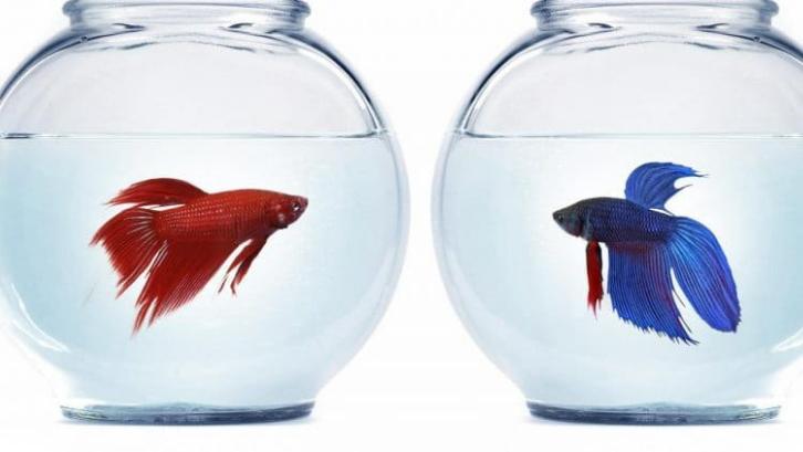 Ikan Cupang 6