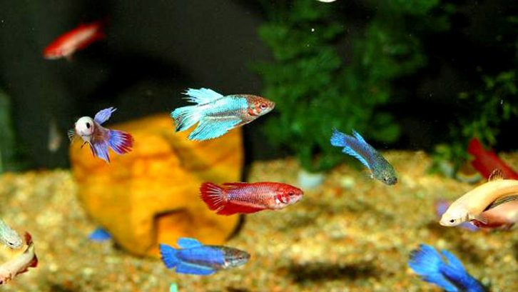 Ikan Cupang 7