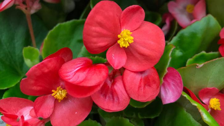 Tanaman begonia membutuhkan waktu yang lama agar bunganya bisa mekar dengan sempurna. (Foto: Garden Lovers Club)