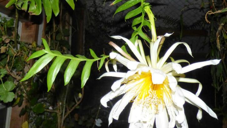 Tanaman hias wijaya kusuma dikenal sebagai tanaman pembawa keberuntungan. (Foto: Worlds of Succulents)