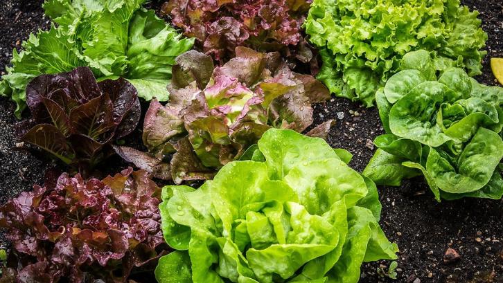 Daun selada tidak membutuhkan perawatan yang rumit agar bisa tumbuh dengan baik. (Foto: Pixabay - The G)