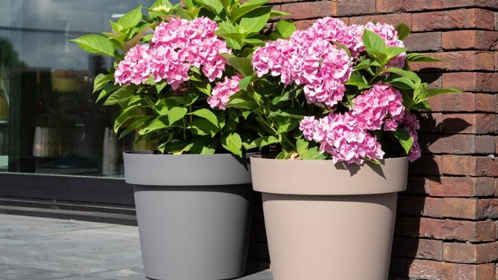 Warna dari bunga tanaman hortensia bisa berubah dengan sangat indahnya. (Foto: Croix Chatelain)