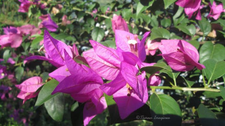 Bougenville memiliki warna bunga yang menarik. (Foto: Project Noah)
