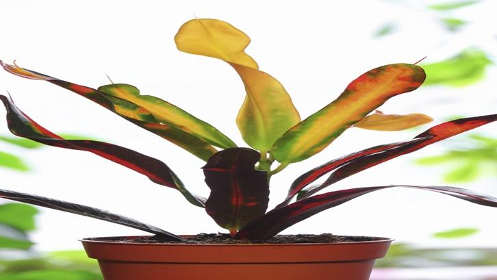 Tanaman puring memiliki beragam wujud, dengan jenis semak atau pohon berukuran kecil. Sumber: gardeningknowhow.com