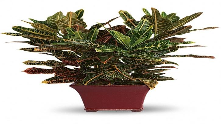 Kenali jenis tanaman puring dan perawatannya secara tepat. Sumber: Plantopedia