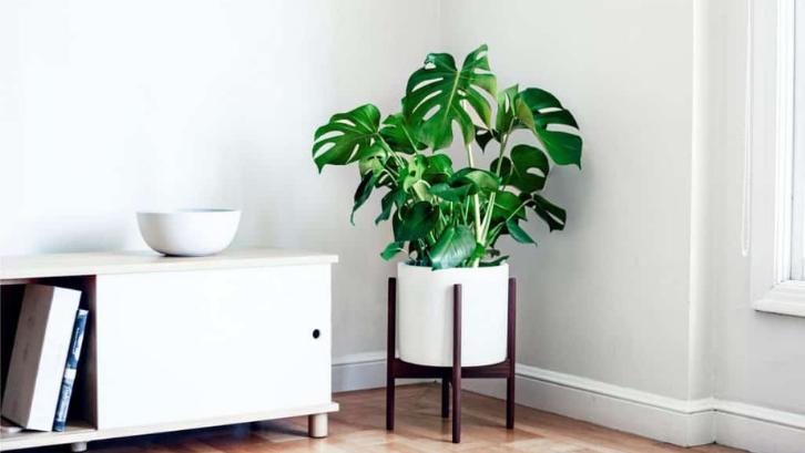 Tanaman janda bolong sangatlah digemari dan memiliki nilai jual yang tinggi. (Foto: Indoor Plants World)