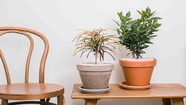 Tanaman puring bisa Anda letakkan pada beberapa bagian rumah yang terbuka. Sumber: The Spruce