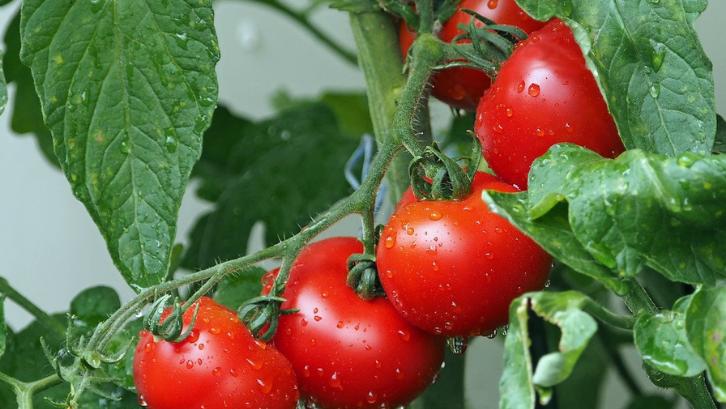 Tomat bisa tumbuh dengan baik apabila mendapatkan sinar matahari setidaknya selama enam jam dalam sehari. (Foto: Pixabay - kie - ker)