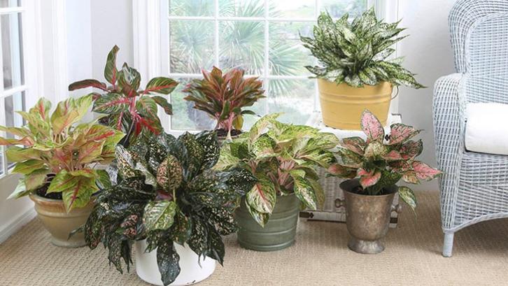 Tanaman aglaonema sering disebut juga sebagai ratu dari tanaman hias daun. (Foto: Costa Farms)