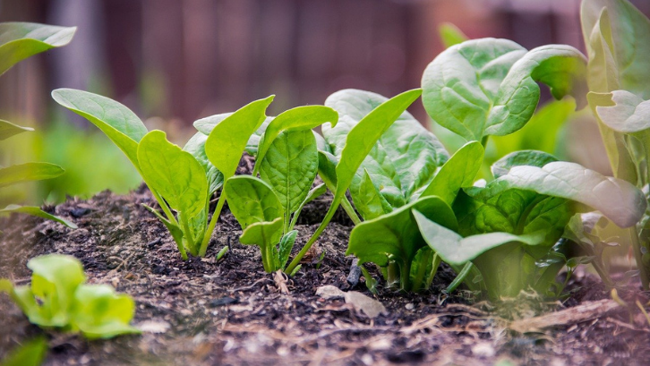 Tanaman bayam rentan terserang oleh hama. Pastikan agar Anda menyemprotkan pestisida secara rutin. (Foto: Pixabay - Devanath)