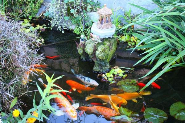 Ikan koi adalah lambang prestij keluarga (untuk sesetengah orang)!