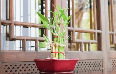Cara dan Manfaat Tanaman Bambu Hoki Bawa Rezeki Di Rumah