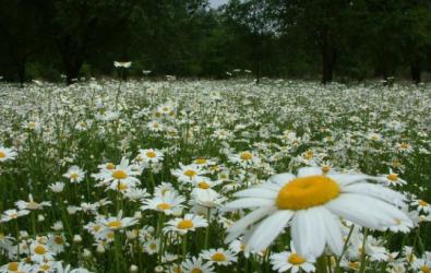 Tips dan Cara Mudah Menanam Bunga Krisan di Rumah
