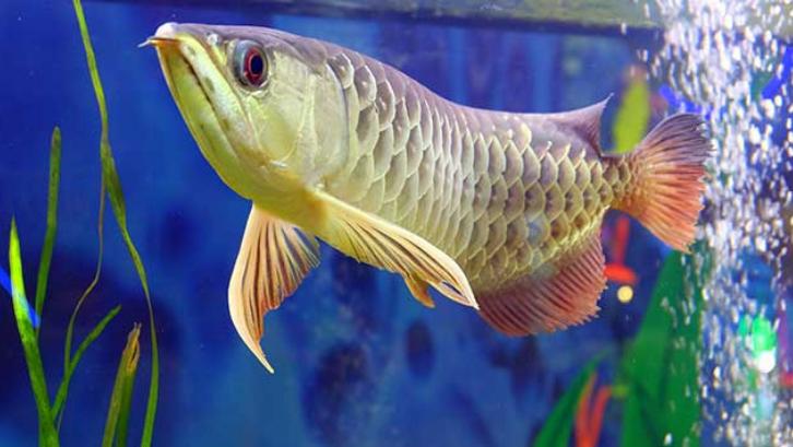Mengenal Ikan Arwana Pembawa Keberuntungan Di Rumah Rumah Com