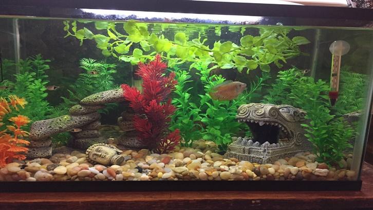 Ikan gurame masuk dalam kategori konsumsi dan memiliki nilai ekonomis tinggi. Sumber: Pinterest