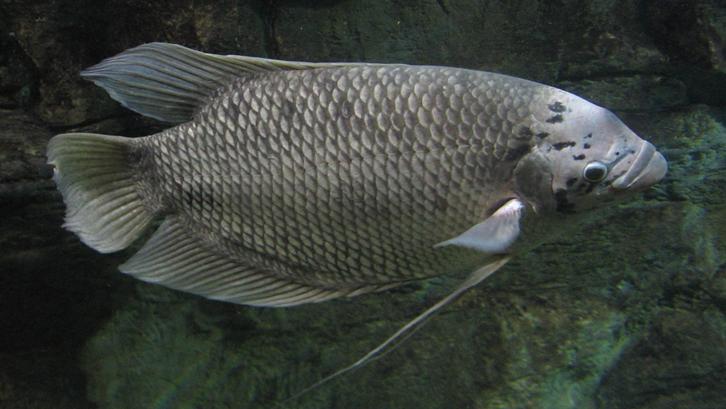 Setidaknya ada 8 jenis ikan gurame yang indah dan menarik mata. Sumber: Wikipedia