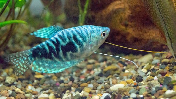 Ikan gurame siap konsumsi umumnya berbobot lebih dari 500 gram/ekor. Sumber: The Spruce Pets