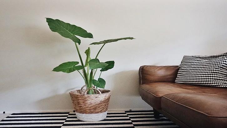 Untuk merawat tanaman kuping gajah, penyiraman dan pemupukan saja tidak cukup. Foto: Pinterest