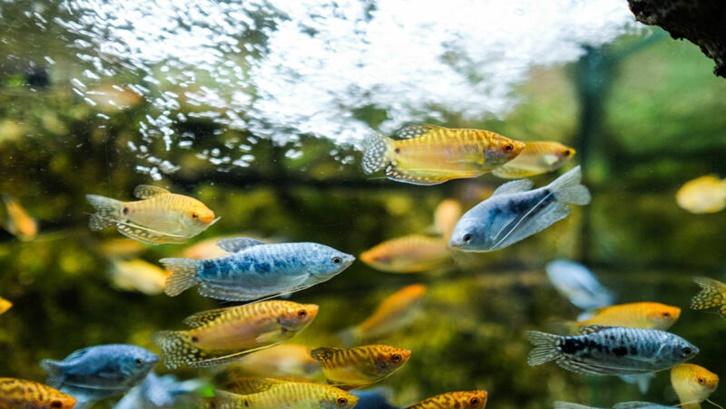 Untuk memulai budidaya ikan gurame dibutuhkan modal yang cukup besar. Sumber: Fish Tank Advisor