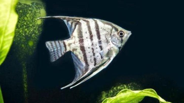 Indah dan mewah adalah beberapa alasan mengapa angel fish sangat diminati. (Foto: Gerava)