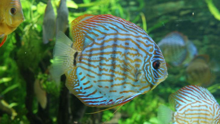 Warna yang menarik menjadikan ikan discus tampil berbeda diantara ikan lainnya. (Foto: Wikimedia Commons)