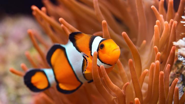 Ikan clownfish atau ikan badut memiliki warna yang sangat lucu dan menggemaskan. (Foto: Live Science)
