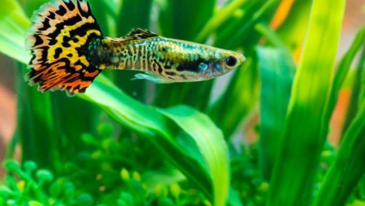 Ikan guppy sudah menjadi ikan hias favorit sejak lama. (Foto: Aquarium Co-Op)