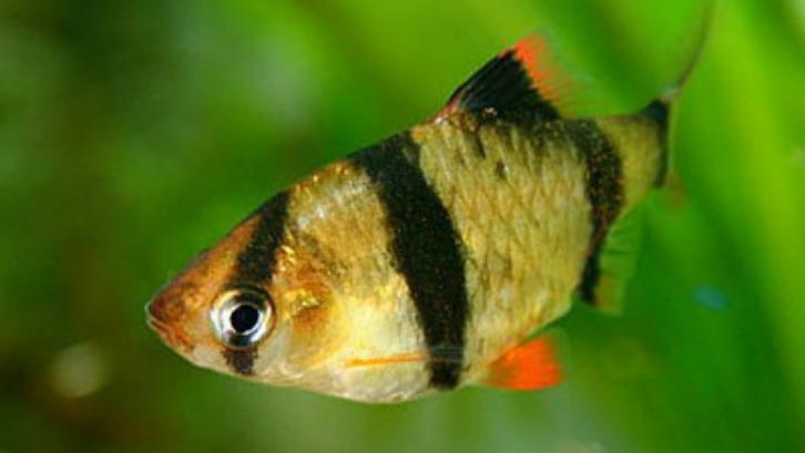 Corak warna yang menarik menjadikan ikan ini cukup disukai. (Foto: Aquarium Nexus)