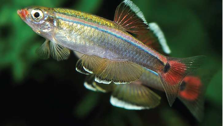 Ikan berukuran kecil seperti white cloud tidak akan membuat aquascape menjadi penuh. (Foto: Tropical Fish Hobbyist)