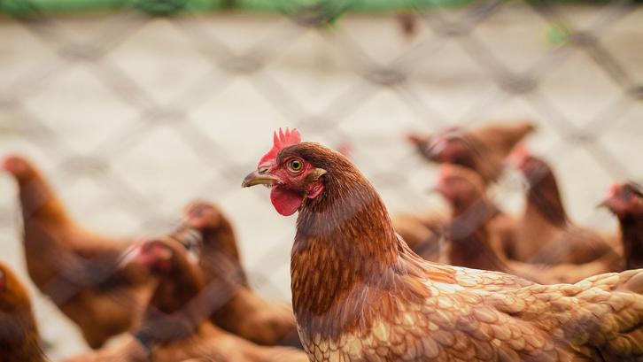 Meskipun membutuhkan waktu yang lama, ayam kampung yang berhasil tumbuh baik bisa dijual dengan harga mahal. (Foto: Pexels - Italo Melo)