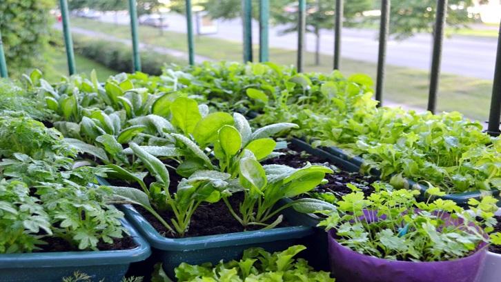 Ada banyak dampak positif yang ditimbulkan dari kegiatan budidaya tanaman sayuran baik untuk diri sendiri maupun lingkungan. Sumber: Gardening Know How
