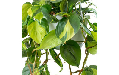 1. TANAMAN PHILODENDRON