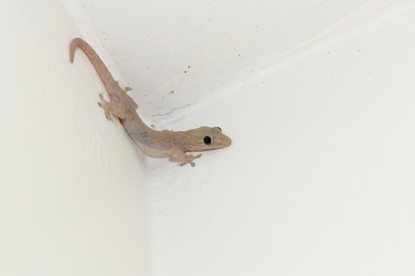 CH_How to get rid of house lizards - 1