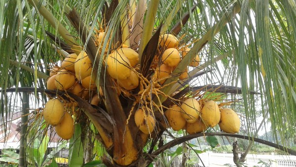 bonsai kelapa, kelapa bonsai, bonsai