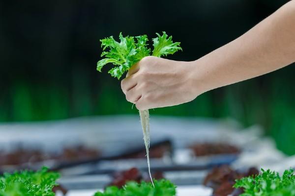 hidroponik, tanam hidroponik, tanaman hidroponik, cara tanaman hidroponik, tanaman hidroponik di rumah, jenis tanaman hidroponik tanam sayur
