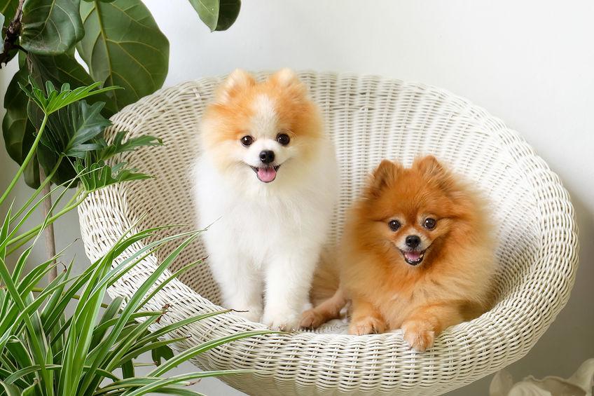 dog-friendly-cafe-singapore-pomeranian