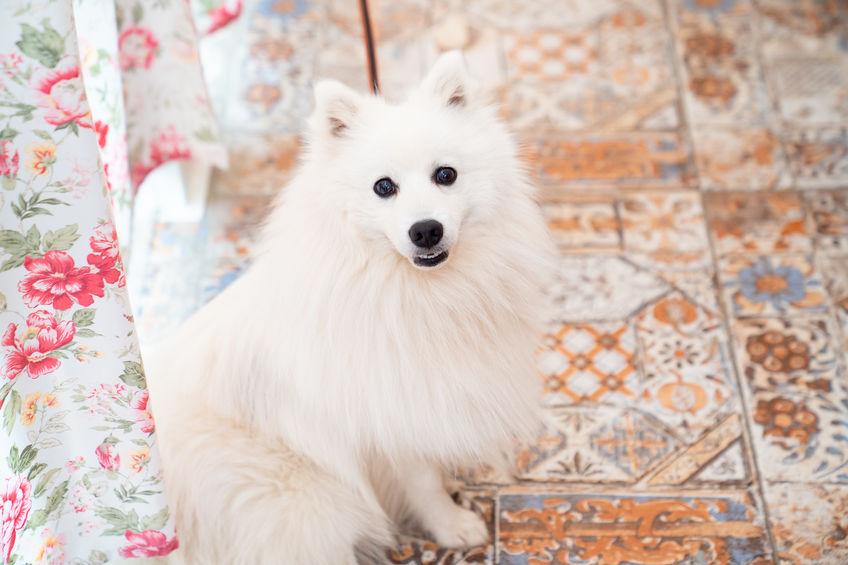 dog-friendly-japanese-spitz