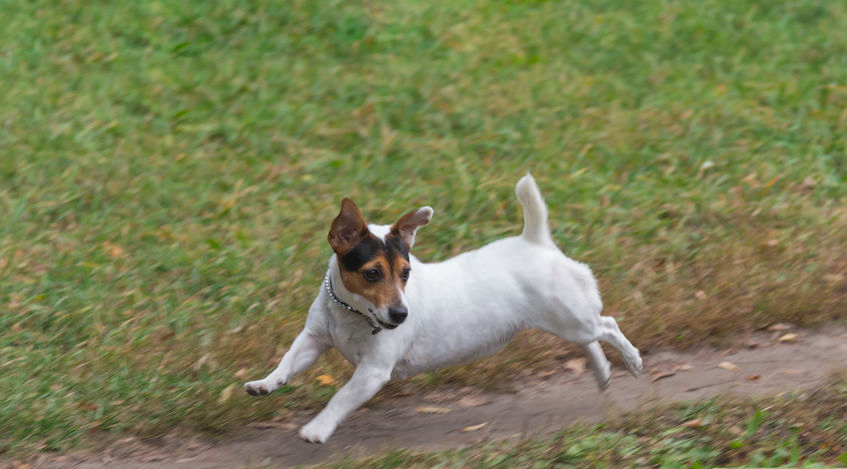 Funny Jack russell terrier runs along the path in a park in autumn