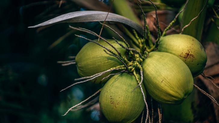 12 Manfaat Kelapa Ijo, Salah satunya Tingkatkan Imunitas