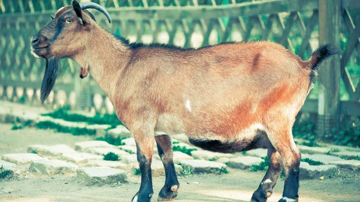 Pilihlah indukan kambing yang sehat dan tidak memiliki cacat. (Foto: Pexels - Pixabay)