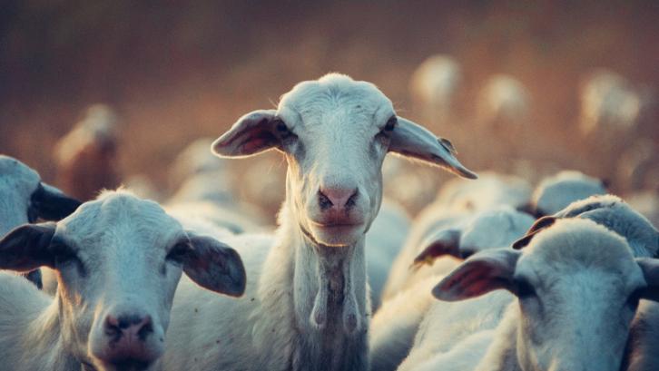 Anakan kambing bisa tumbuh dewasa dengan cepat. (Foto: Pexels - Snapwire)