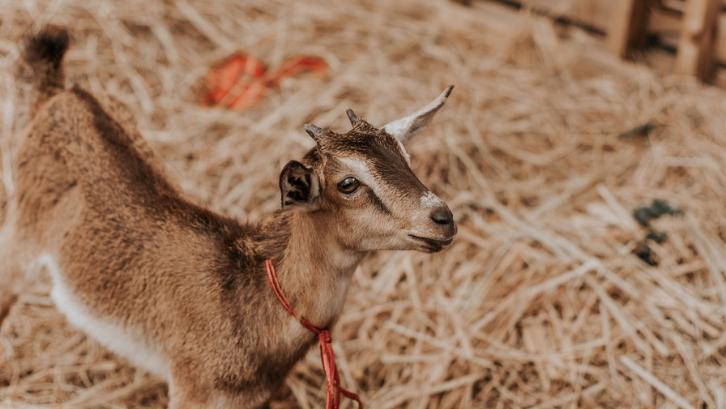 Anak kambing memerlukan tempat yang nyaman untuk bisa tumbuh dengan baik. (Foto: Pexels - Rodolfo Quiros)