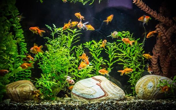 เลือกสีน้องปลาทองผิด ชีวิต (อาจ) เปลี่ยน