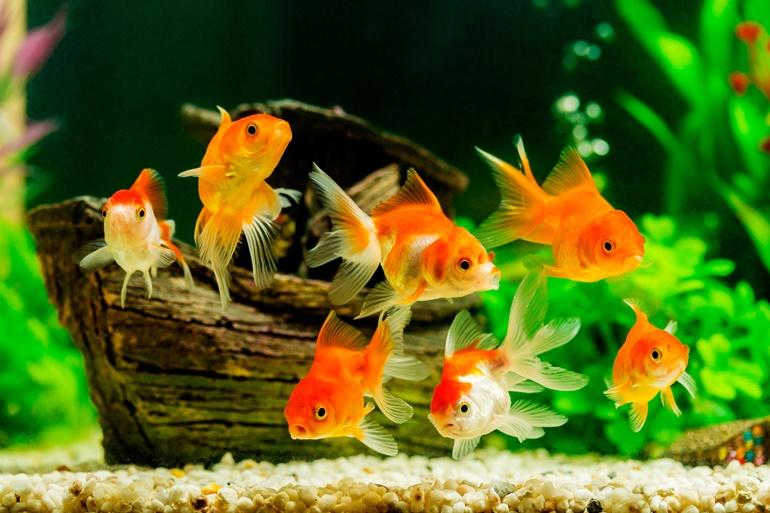 เลี้ยงปลาทองเสริมฮวงจุ้ย กับ 5 เรื่องควรรู้ก่อนเลี้ยง