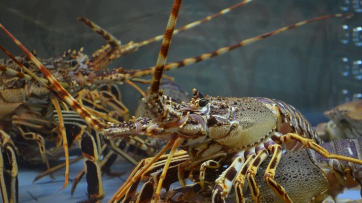 Agar Sukses  Budidaya Lobster Air Tawar, Simak 5 Tips Penting Ini